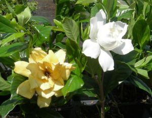 Mystery gardenia jasminoides Starter plants 4 8 Tall Well Rooted