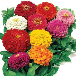Zinnia Giant Dahlia Beautiful Mixed Colors Annual Seeds