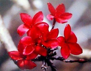 Hawaiian Red Plumeria Plant Cutting Grow Hawaii