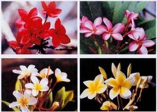 Hawaiian Plumeria Plant cuttings Mixed Colors Grow Hawaii