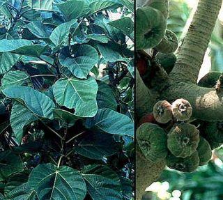 Elephant Ear Fig Tree 10 Seeds Ficus Auriculata