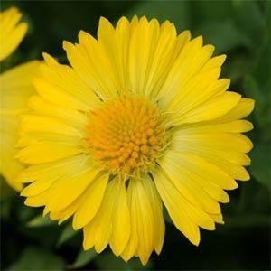 Gaillardia Mesa Yellow Live Plugs Flower Plants Gardens Lanscapes Pots
