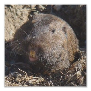 Gophers are rodents that primarily live underground. This one took a
