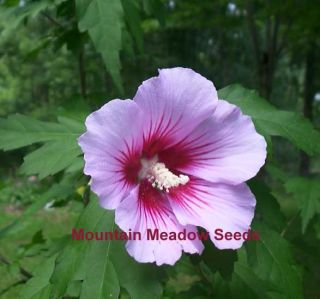 Rose of Sharon Red Heart Flowering Small Tree 25 Seeds