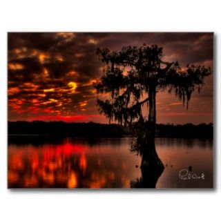 Lonely Cypress Post Card