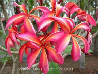 Plumeria with Rooted Diamond Rainbow Exotic