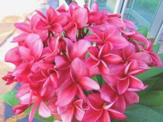 Plumeria Frangipani Plants Granyrorong 50 Seeds Fresh