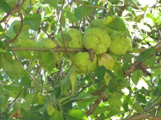 Osage Orange Kansas Hedge Apples Maclura Pomifera Tree Fresh Seeds Qty
