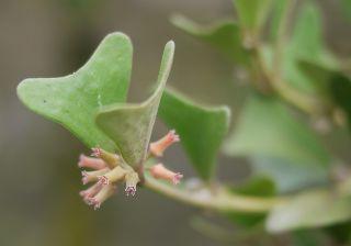 Vine Plants of Hoya Manipurensis Very RARE Size M