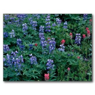 Purple Lupine, Indian Paintbrush flowers Post Cards
