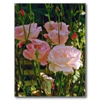 Climbing Roses Beside Wrought Iron Gate flower Post Cards