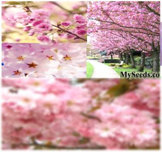 Sakura Japanese Flowering Cherry Blossom Tree Seeds
