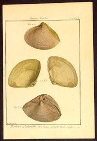 1789 Lemark Redoute Antique Shell Print Molluscs PL 252