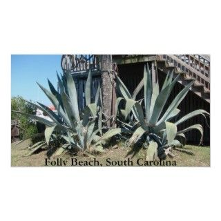 Gigantic aloe vera plants in Folly Beach, South Carolina.