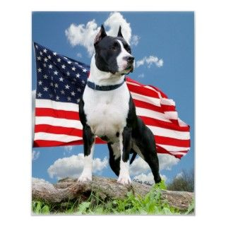 proud black and white Pit bull (American Staffordshire Terrier