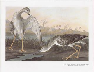 John James Audubon Folio Size Bird Print Greater Yellowlegs