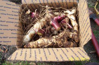 10 Canna Lily Bulbs Rhizomes Bright Red