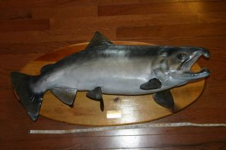 King Salmon, Skin Mount   Awesome   Massive   Taxidermy   fish