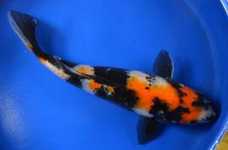 Showa Standard Fin Live Koi Pond Garden Fish KTTW