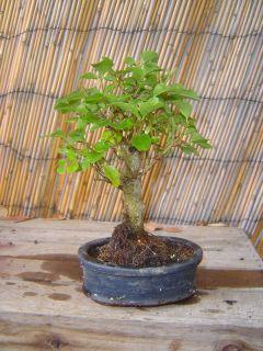 Ligustrum Privet Bonsai Tree 4x3 Ceramic Pot Tiny