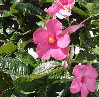 Mandevilla Amabilis Alice Du Pont Pink Brazilian Jasmine Plant Nice
