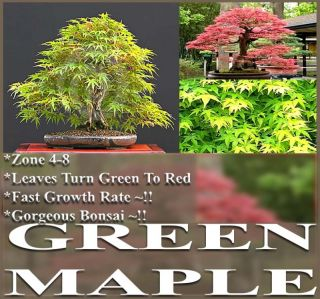 Japanese Green Maple Tree Seeds for Bonsai Landscape