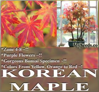Korean Maple Tree Seeds Bonsai Tree Specimen Gorgeous