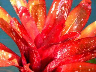 Bromeliad Bromeliads Billbergia Estrella x Amonea Ed McWilliams