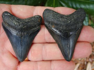 MEGS Georgia River Monster megalodon shark tooth teeth fossil mako