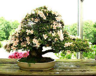 Newly listed Bonsai Tree Specimen Satsuki Azalea Kouzan SAST 504D