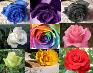 Rose Seeds   Black Blue Purple Yellow Green Red   RAINBOW ROSE SEEDS